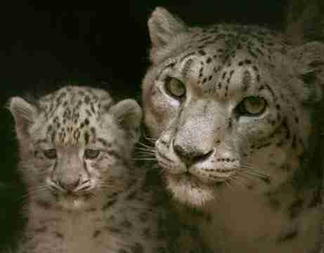Snow Leopard Energy Rides Again, No. 1 on Amazon!