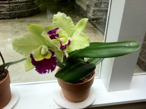 Cattleya Orchid In My Studio