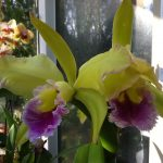Orchids In My Studio