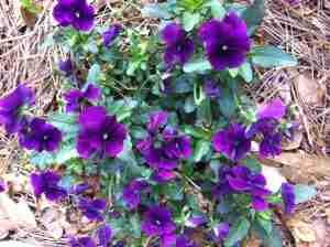Violas In My Garden