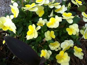 Violas In My Garden