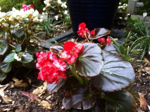 Begonias in My June Garden