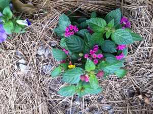 Lantana in My June Garden