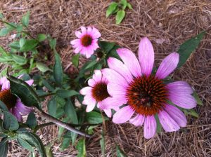 Coneflowers on my walk