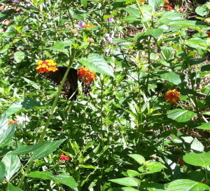 Butterfly in my summer garden